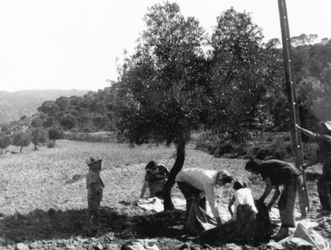 Antigua recolección de las olivas.