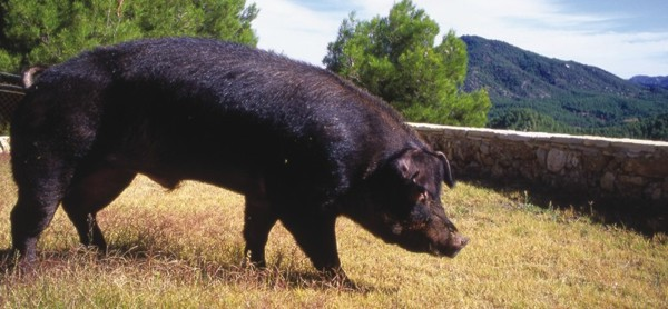 The Duroc pig one of the most popularly used breed