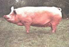 Large White pigs are frequently used for the maternal line in cross-breeding.