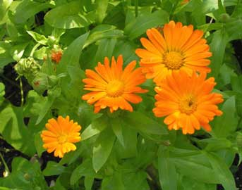 MARIGOLD SOAP HAS MOISTURIZING PROPERTIES.