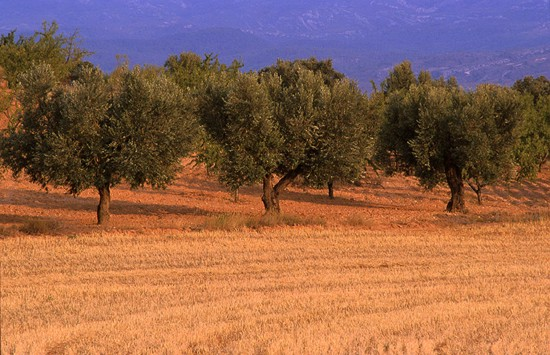 Ther first step is to sprinkle herbicides around the olive trees