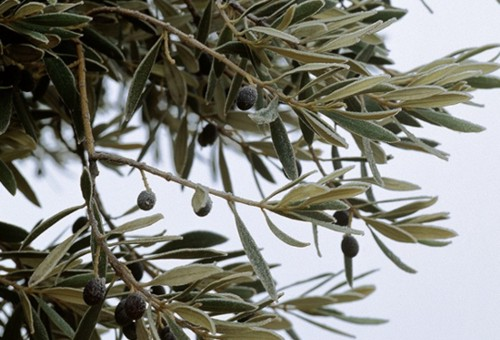 To verify that the fertilisation is done correctly you can do an analysis of the olive leaves