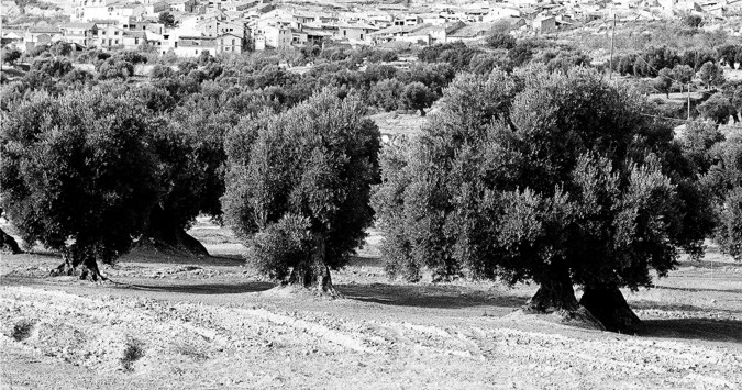 The olive tree is the characteristic tree of Aragón