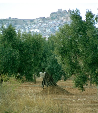 The olive tree has been cultivated in Spain since ancient times