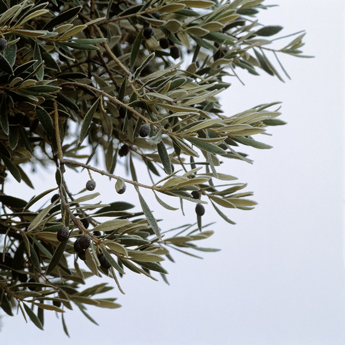 The olive tree is highly appreciated, its leaves have medicinal properites