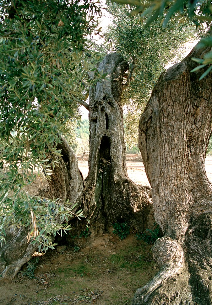 The olive tree has a very characteristic trunk