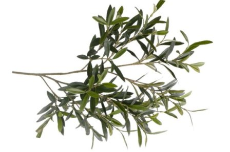 Olive branch as an offering