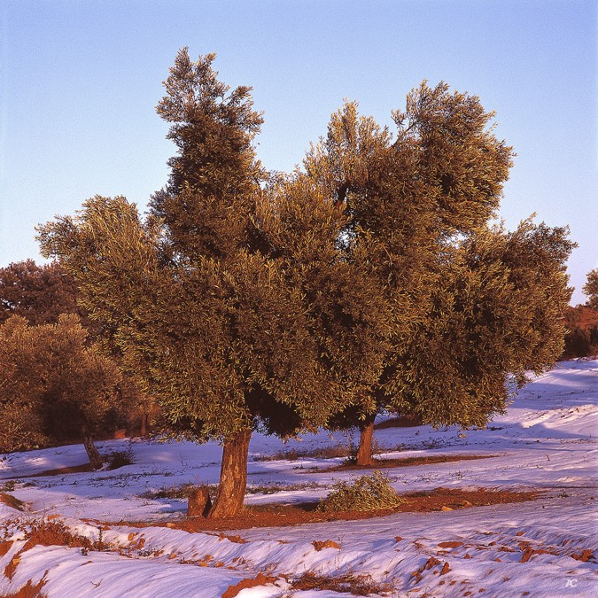 In Spain there are diverse varieties of olive tree
