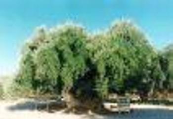 El olivo Arauco, es un olivo milenario.