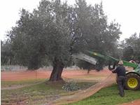 Recolección de olivas en Bajo Aragón