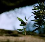 De las aceitunas se extrae el aceite de oliva