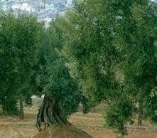 Curiosidades del aceite de oliva