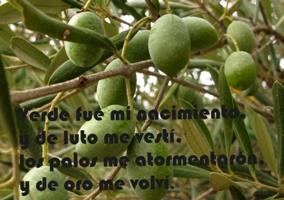 olivos-olivares-dichos.jpg