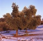 El fruto del olivo es la aceituna, de ella se extrae el aceite de oliva