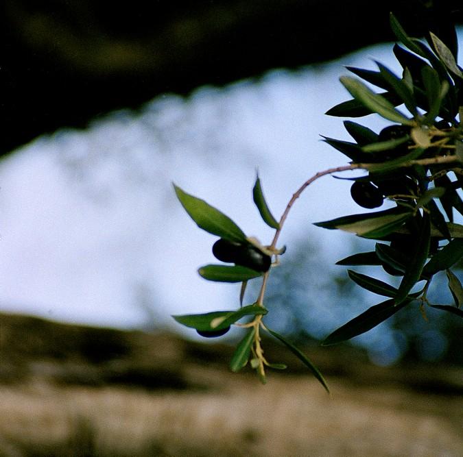 Las aceitunas son el fruto del olivo.