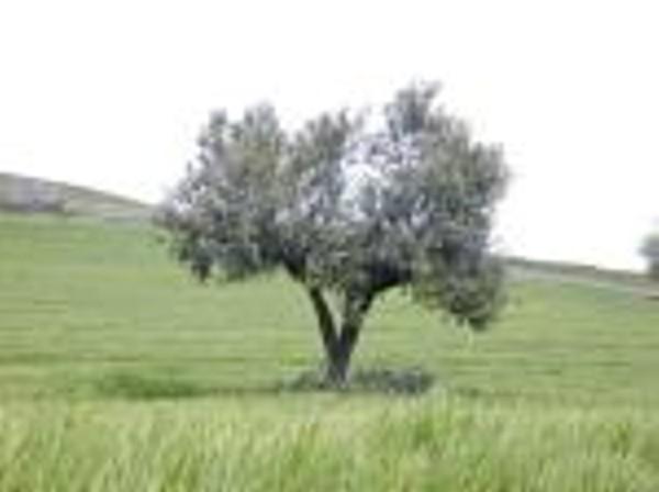 Ayudas al olivar andaluz