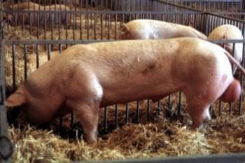 La raza Landrace belga se suele usar como línea padre en los cruces de cerdos