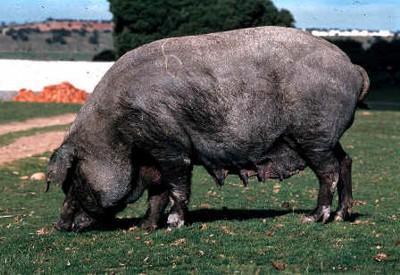 Cerdo ibérico negro