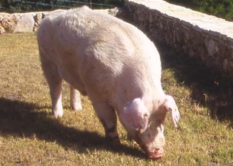 El país de origen del cerdo Landrace es Dinamarca