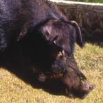 Cerdo Duroc