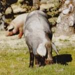 Cerdo ib�rico