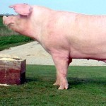 Cerdo landrace