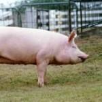 Cerdo large white