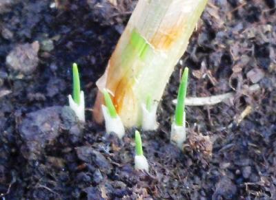 Bulbo de azafrán al que le están naciendo nuevos hijos de los que saldrán nuevas flores.