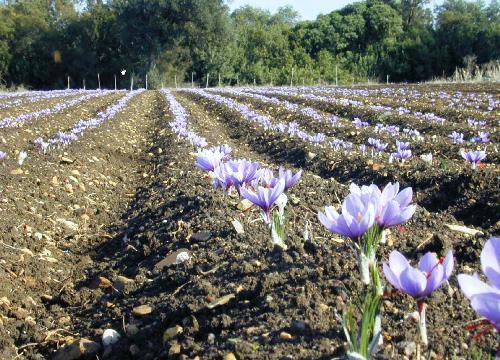 Campo preparado para la recolección de la rosa del azafrán