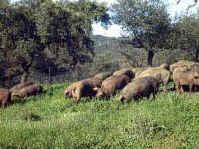 Este tipo de cerdo se alimenta con piensos autorizados por el Consejo Regulador