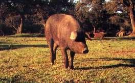 Los cerdos alimentados a base de bellotas llevan un precinto identificativo de color rojo