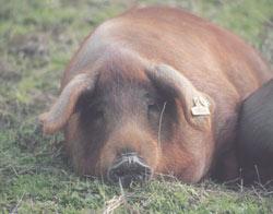 La bellota es el único alimento que comen los cerdos durante los últimos meses antes su sacrificio
