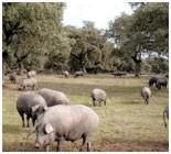 Estos cerdos se alimentan a base de bellotas, a veces también se les complementa con piensos naturales