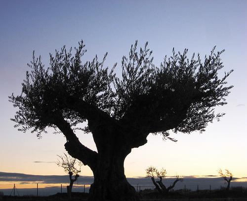 El olivo es un árbol centenario cuyo fruto: la aceituna; es muy apreciado.