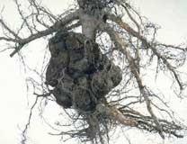 Olivo afectado por la enfermedad de las agallas del cuello