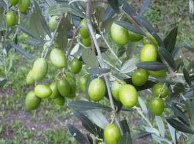 El aceite de oliva virgen extra tiene numerosas propiedades beneficiosas para el corazón.