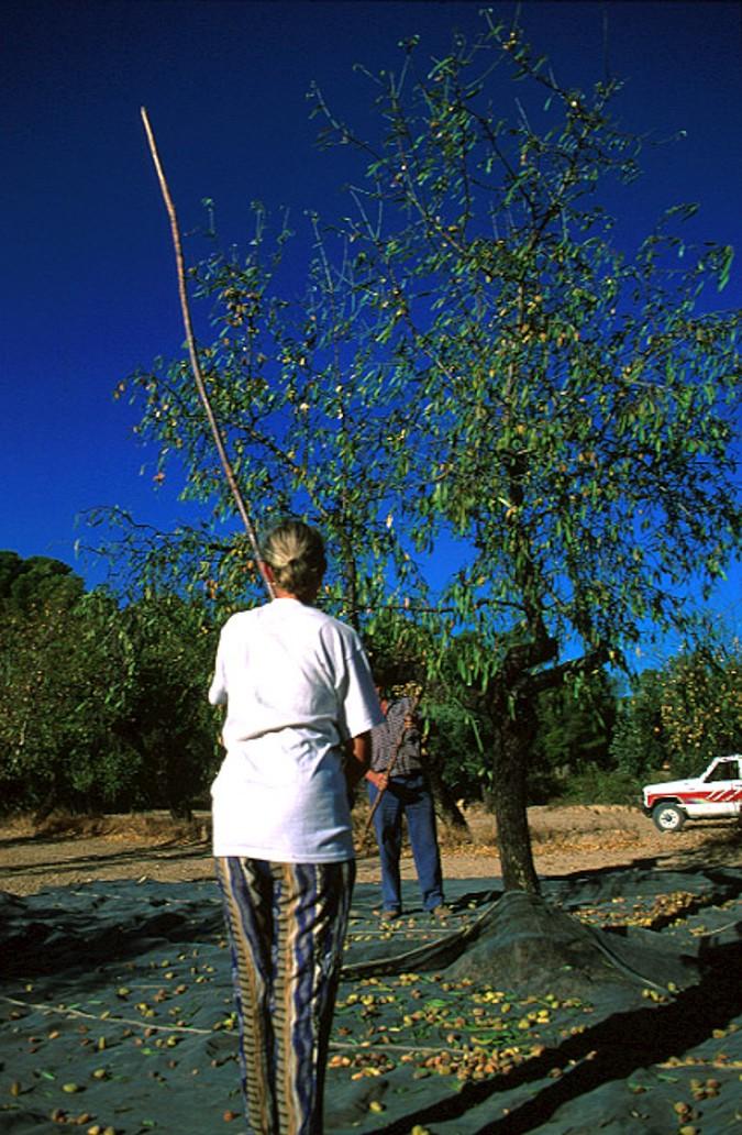 Con la tecnica del vareo las aceitunas negras se desprenden del árbol