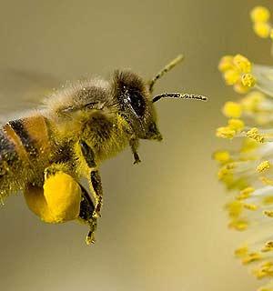 Abeja recolectando polen para la fabricaci�n de miel