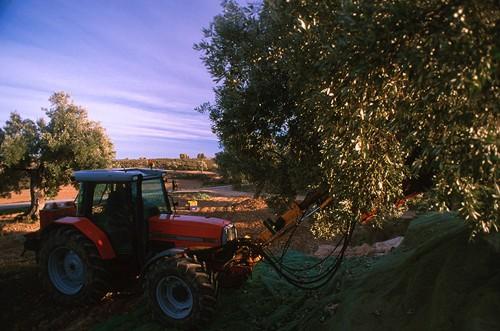 Tractor realizando la tarea de vibrar el olivo