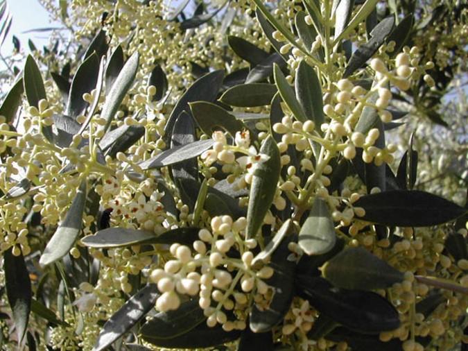 El olivo florece en Mayo