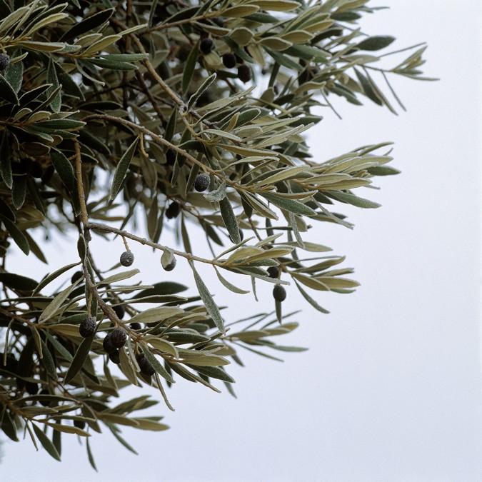 El olivo es un árbol muy apreciado, sus hojas tienen propiedades mediecinales.
