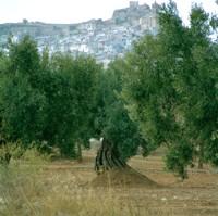 Fases del ciclo anual del olivo