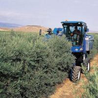 Se está estendiendo por alguna zona de España el cultivo super intensivo del olivo en seto