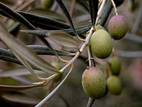 Aceite de oliva virgen extra del bajo Aragón.