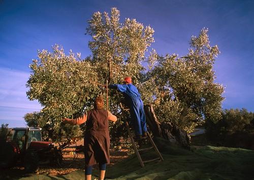 El aceite de oliva virgen tiene muchos componentes antioxidantes beneficiosos para el organismo.