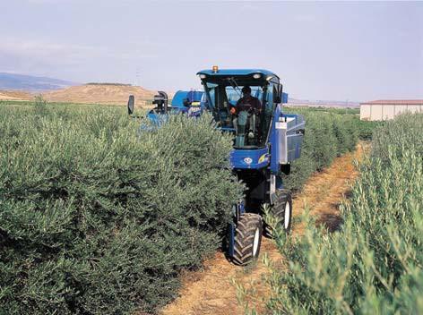 Recolección de la aceituna en un olivar cultivado en seto.