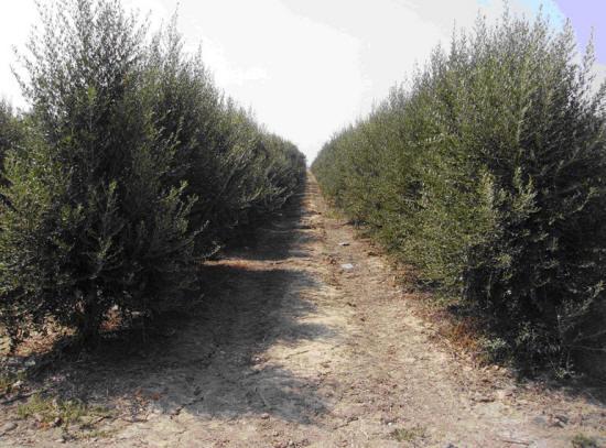El cultivo del olivo en seto para la producción de aceite de oliva virgen extra.