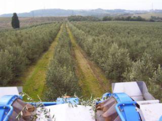Cosechado de la aceituna en olivar en seto.