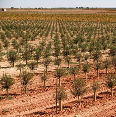 Cultivo en seto del olivo.
