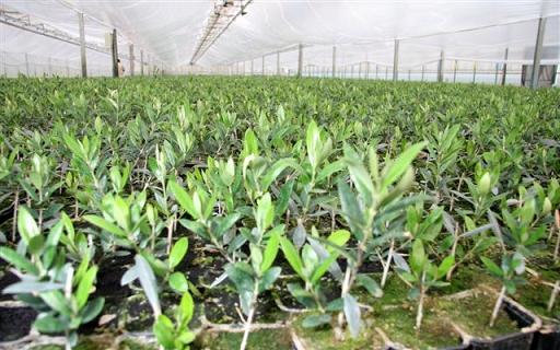Plantero de olivos para cultivo en seto.